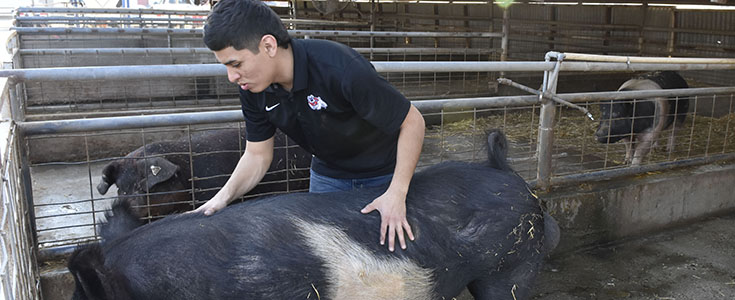 Swine Unit student manager Hugo Rodriguez