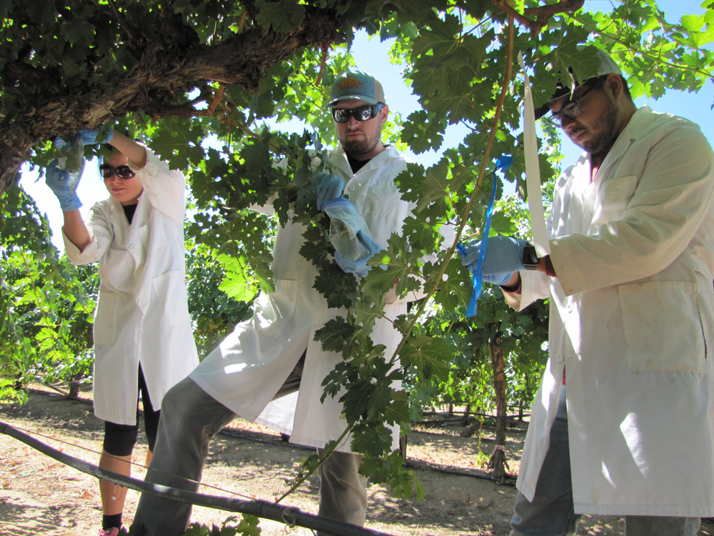 Fresno State student researchers in the vineyard