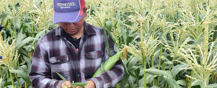 Fresno State vegetable unit student assistant Ulises Gonzalez with the campus farm sweet corn harvest