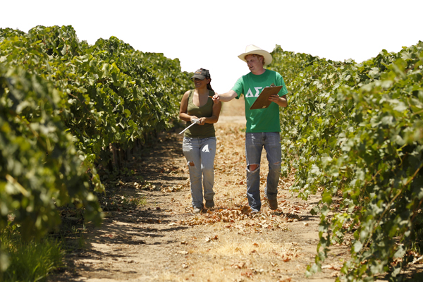 Students walking down Fresno State Vineyard row